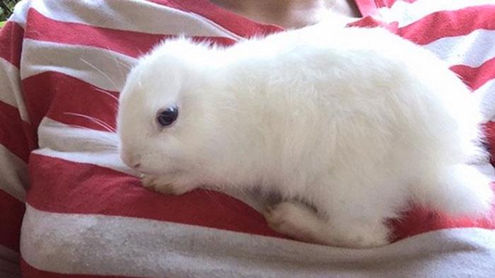 Coelho nasceu sem orelhas e com apenas três pernas