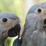 Ararinha-azul está extinta no Brasil, Alemanha enviará 50 exemplares em 2019