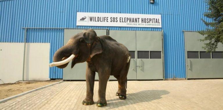 Elefanta de 70 anos que passou a vida presa como atração turística é finalmente livre
