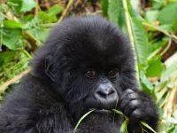 Gorilas-das-montanhas emergem da extinção em grande vitória da conservação