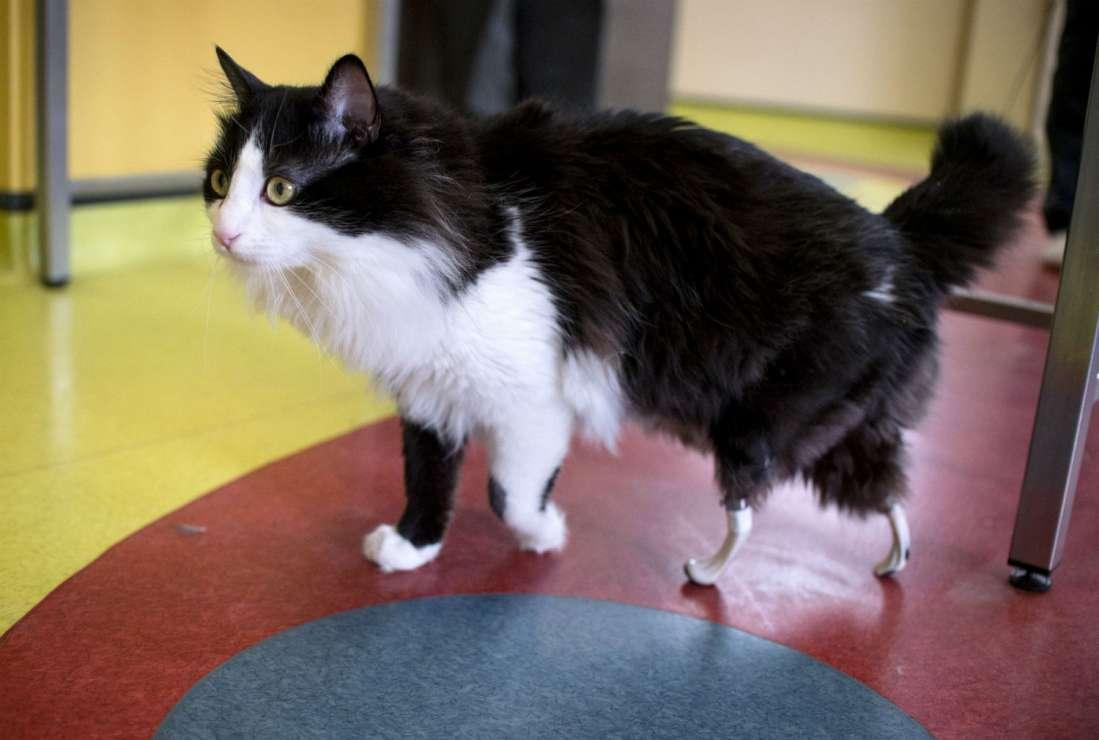 Após perder as patas em atropelamento, gato ganha 'patas biônicas' e volta a andar