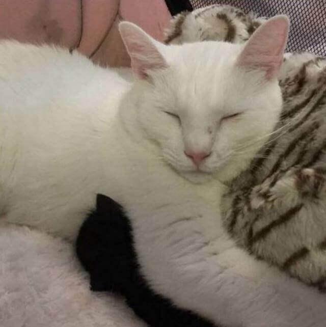 Conheça o gato especial que acolhe e abraça os novos gatinhos que chegam no abrigo