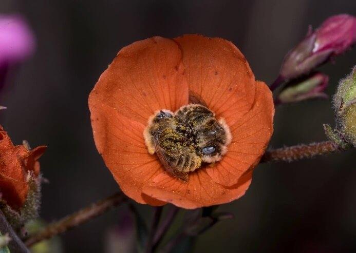 Fotógrafo captura foto de abelhas abraçadas, dormindo juntas em uma flor
