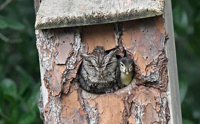 Mamãe coruja protege ovo de pato até ele eclodir em segurança