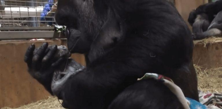 Em vídeo emocionante, mamãe gorila aconchega filhote nos braços e o beija após dar à luz