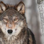 Por um voto de diferença, parlamento local nos EUA proíbe a caça de lobos