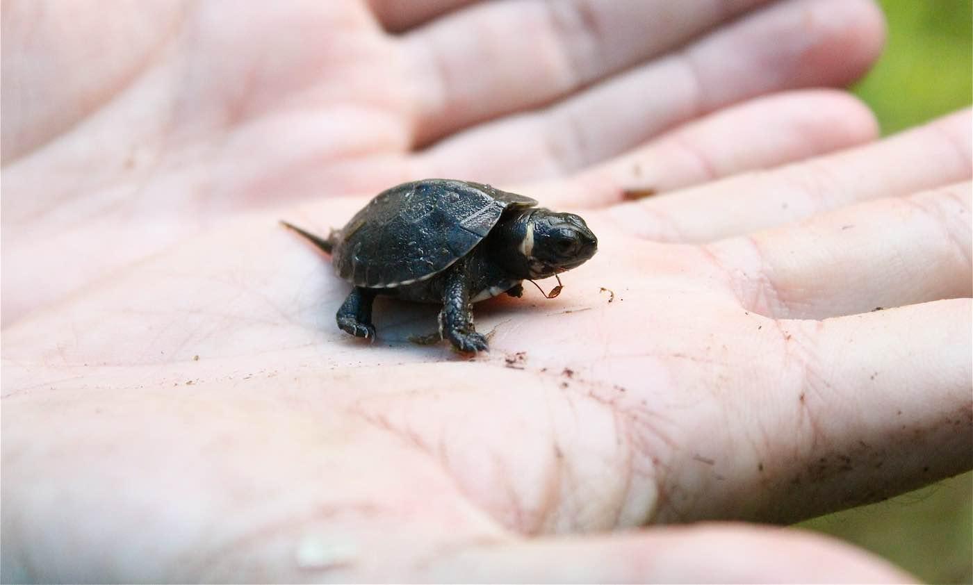 Espécie de tartaruga declarada extinta é encontrada prosperando em templo hindu
