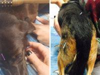 Cães vítimas de atropelamento passam por sessões de acupuntura em Florianópolis (SC)