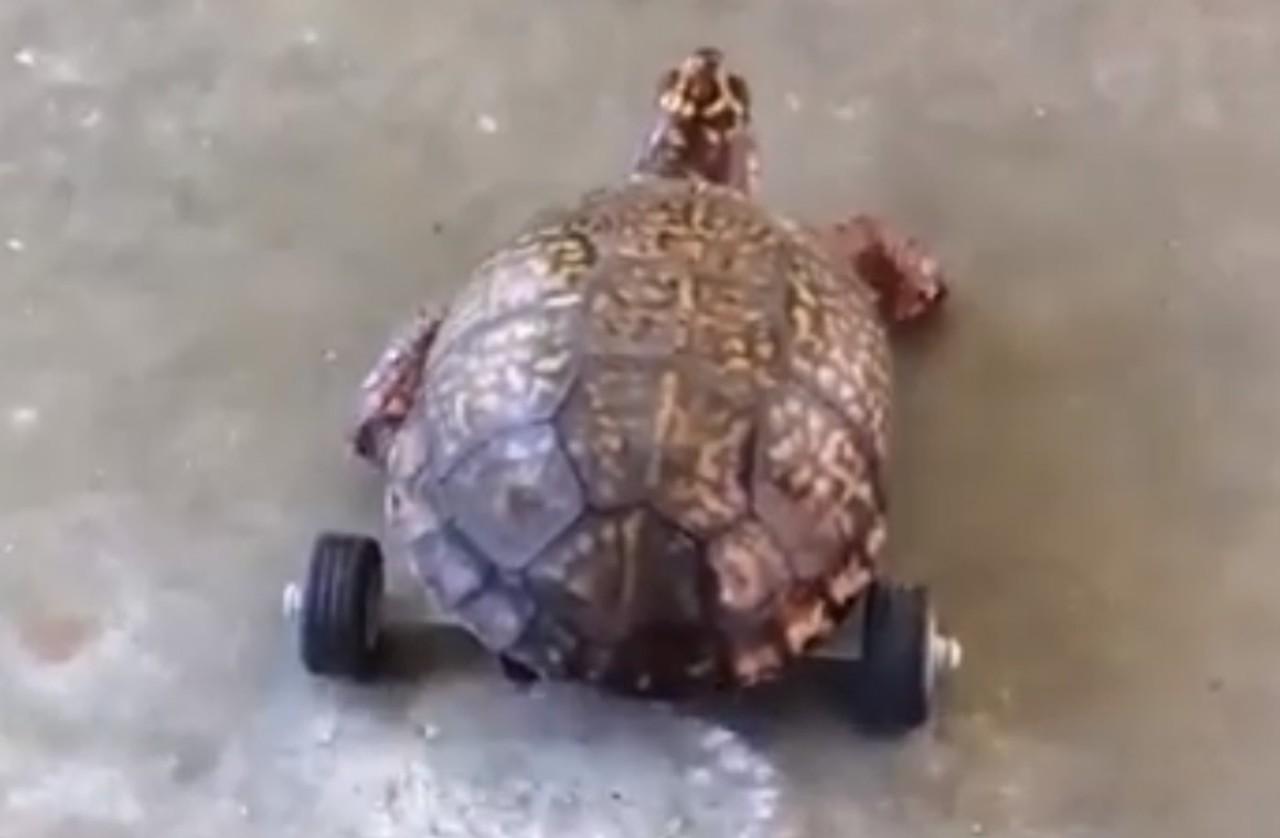 Tartaruga ganha prótese feita de Lego após perder patas traseiras e volta a andar