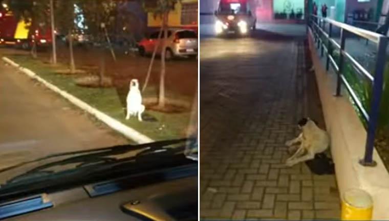 Em vídeo, cãozinho 'persegue' ambulância que levava dono atropelado para hospital