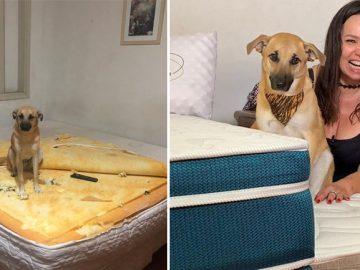 cachorro destruiu colchão