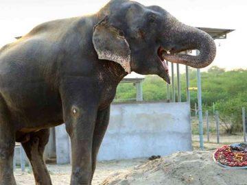 Elefante é surpreendido com bolo especial durante comemoração de seus 5 anos livre do cativeiro