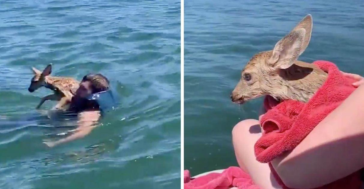 Homem resgata bebê cervo de afogamento e o reúne uma vez mais com sua mãe