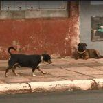 Cães de rua recebem coleiras que refletem luz de veículos para evitar acidentes em SC