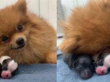 Cachorrinha dá à luz e aparece sorrindo ao lado dos filhotes