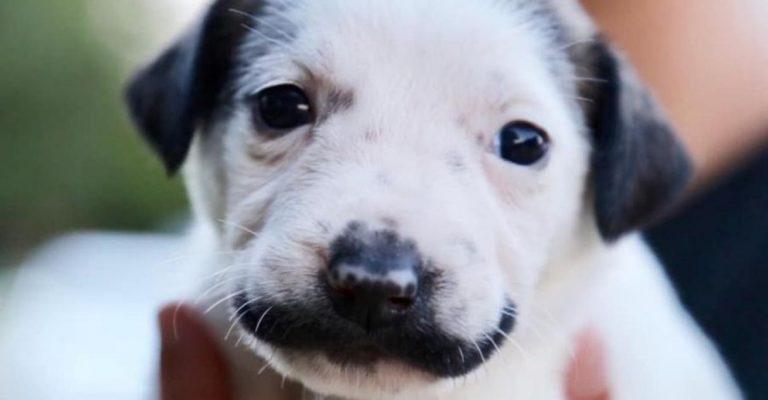 cãozinho bigode de salvador dal garoto-propaganda adoção