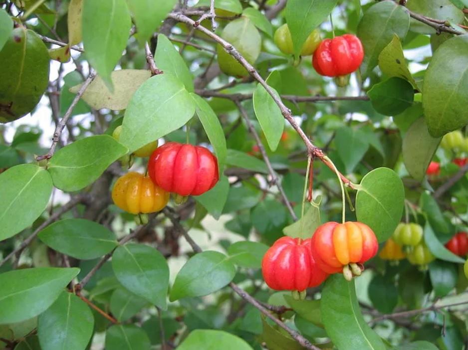 árvore pitangueira