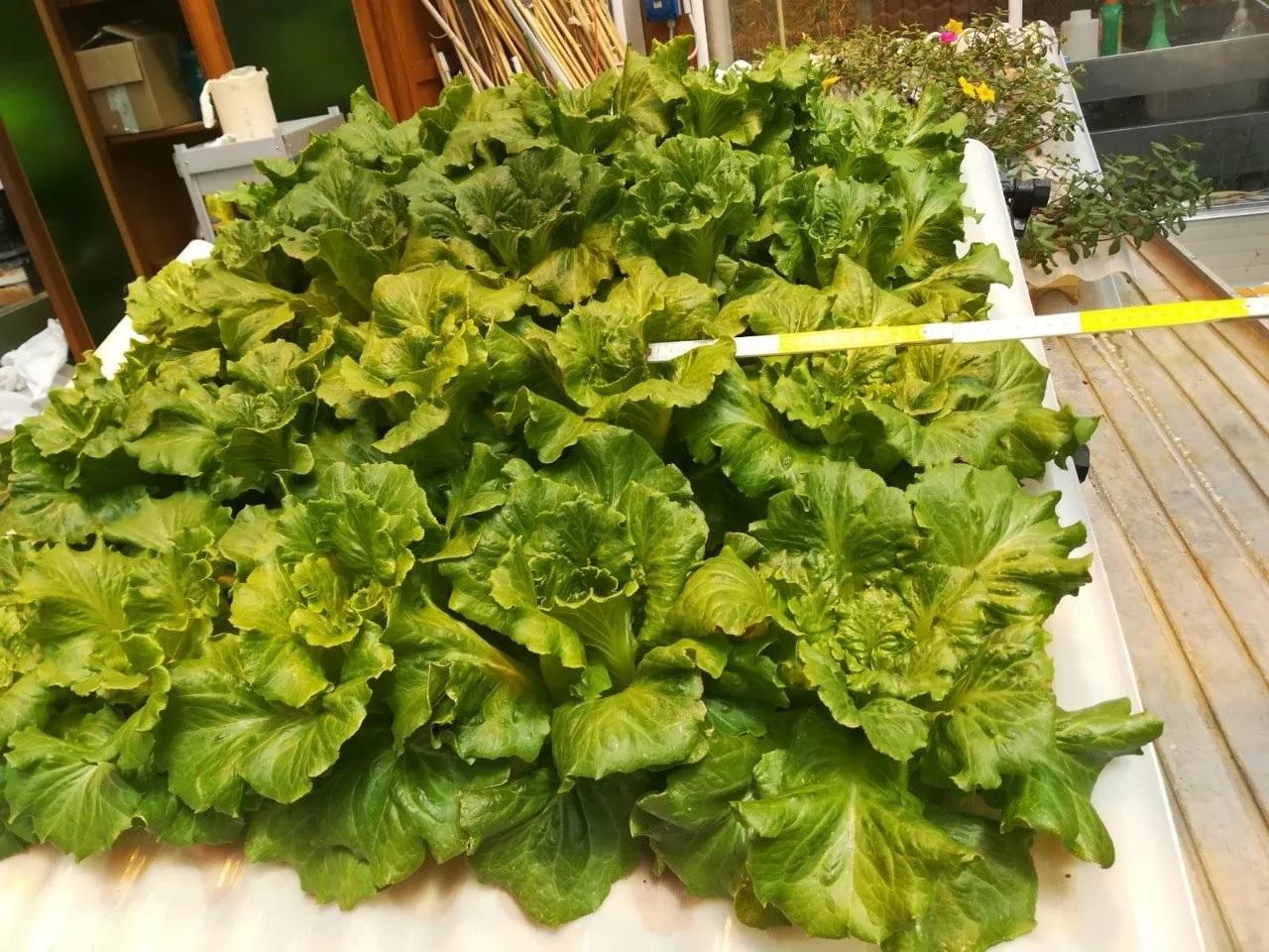 vegetais telha hidropônica