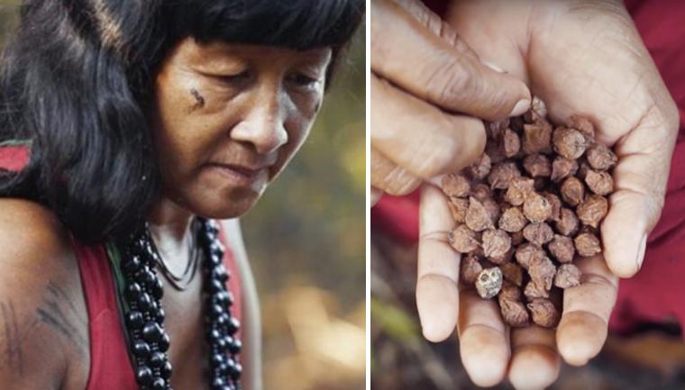 Ação liderada por mulheres indígenas já plantou mais de 1 milhão de árvores no MT 1