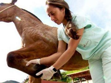 estudante veterinária cuidando cavalo carroceiro