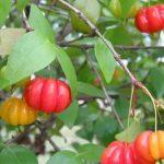 Estudo brasileiro aponta que folha de pitangueira pode combater Alzheimer 2