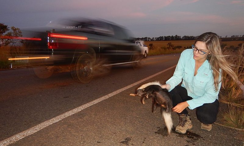 bióloga segurando gambá atropelado rodovia