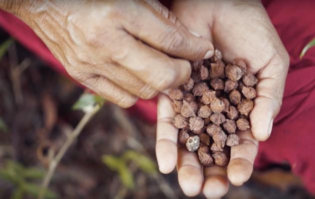 sementes palma mão mulher indígena