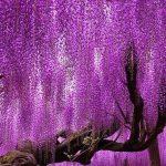 Árvore japonesa centenária impressiona com belíssimas cores em degradê 😍 11