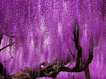 Árvore japonesa centenária impressiona com belíssimas cores em degradê 😍 1
