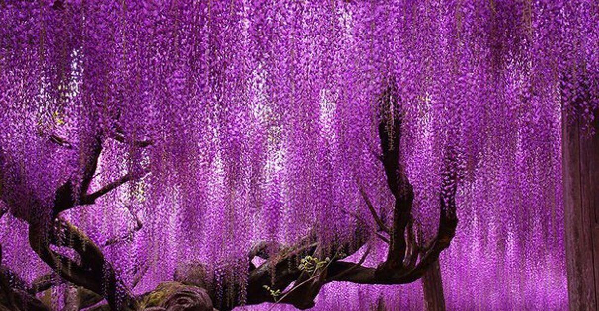 Árvore japonesa centenária impressiona com belíssimas cores em degradê 😍 3