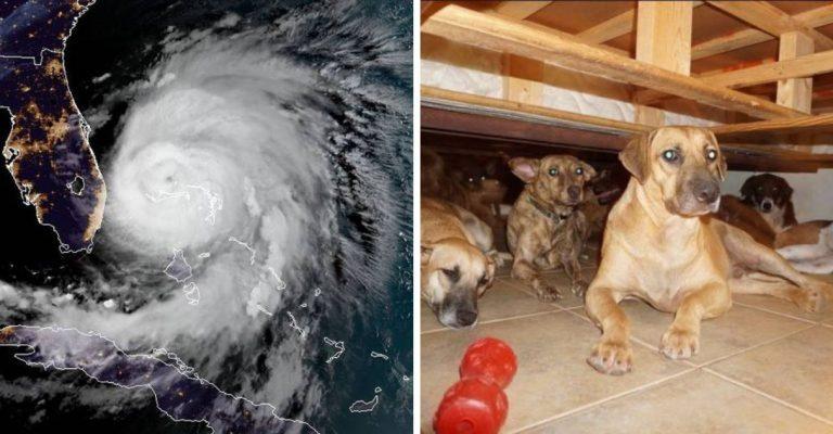cachorros salvos furacão