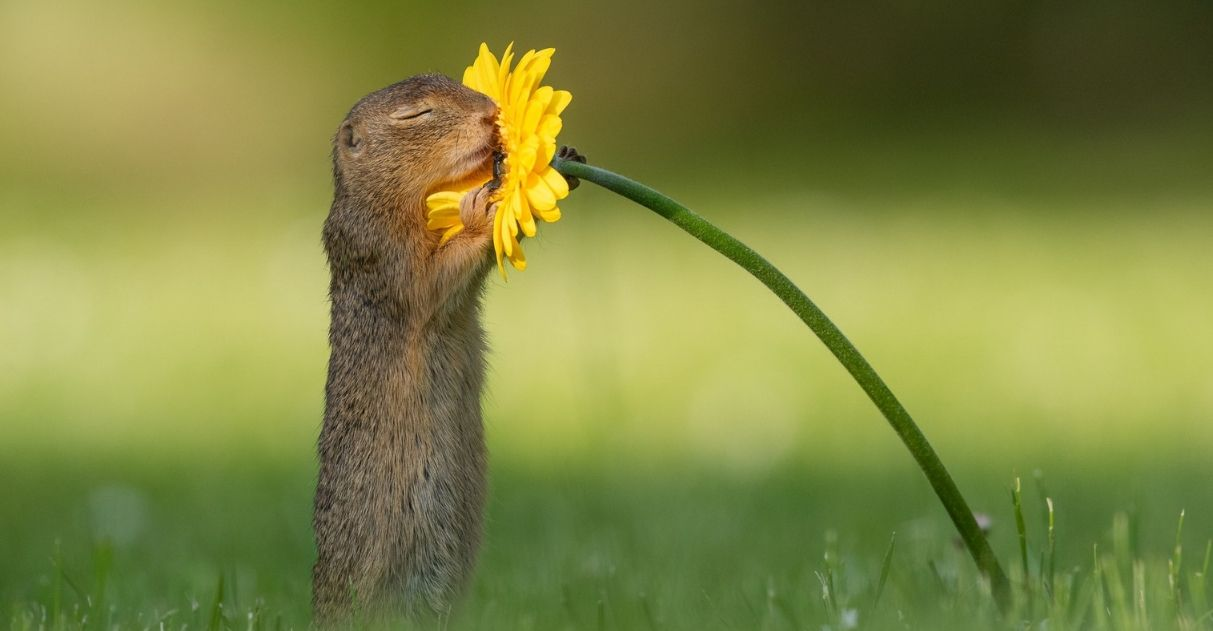 esquilo contemplando e cheirando uma flor amarela
