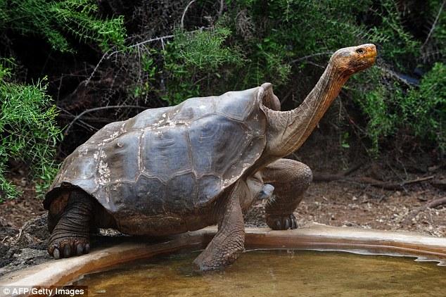 Tartaruga oitocentos filhote salva sua espécie extinção