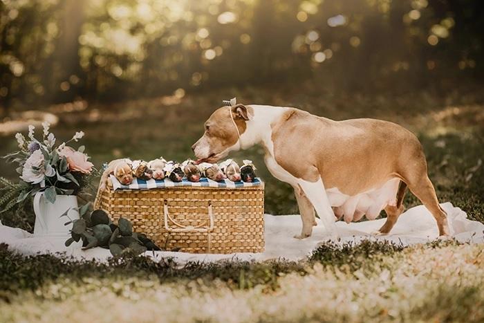 Pit Bull grávida brilha ensaio fotográfico