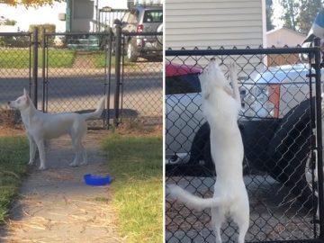 Cachorrinha cega e surda fica extasiada ao sentir que seu pai chegou em casa; veja vídeo 5