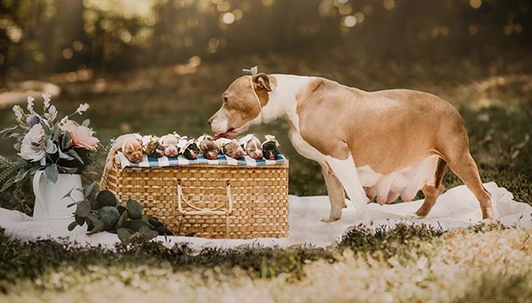Pit Bull que foi rejeitada grávida ganha ensaio encantador com seus filhotinhos 1