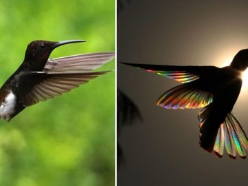 Fotos de artista revelam arco-íris nunca visto em beija-flor-preto 1