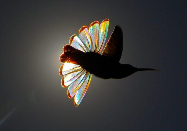 Fotos de artista revelam arco-íris nunca visto em beija-flor-preto 3