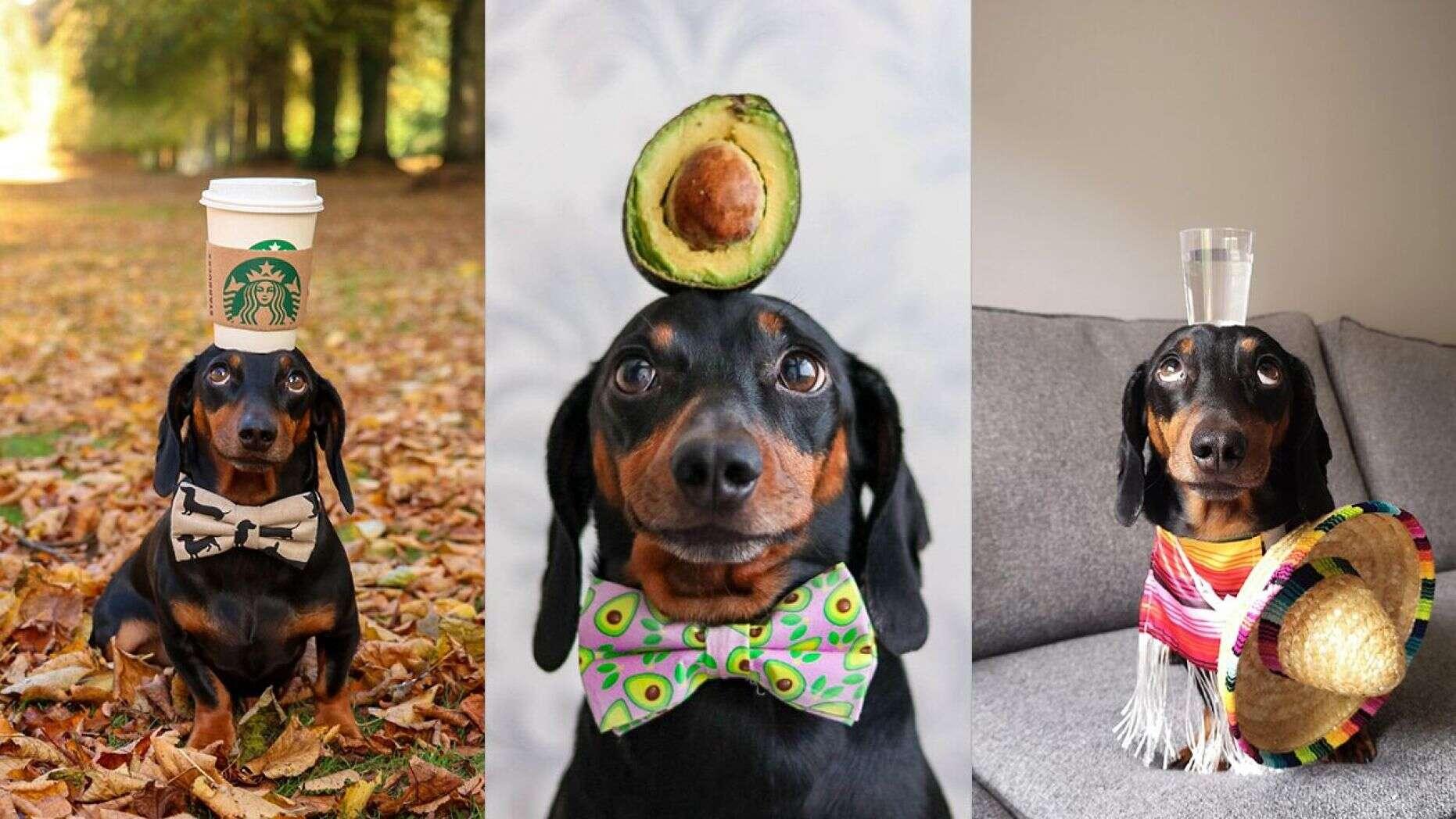 Cãozinho equilibrista famoso instagram