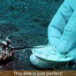 Em vídeo, mergulhador convence bebê polvo a trocar copo plástico por conchinha 2