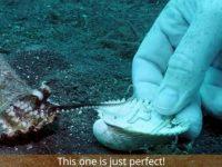 Em vídeo, mergulhador convence bebê polvo a trocar copo plástico por conchinha 4
