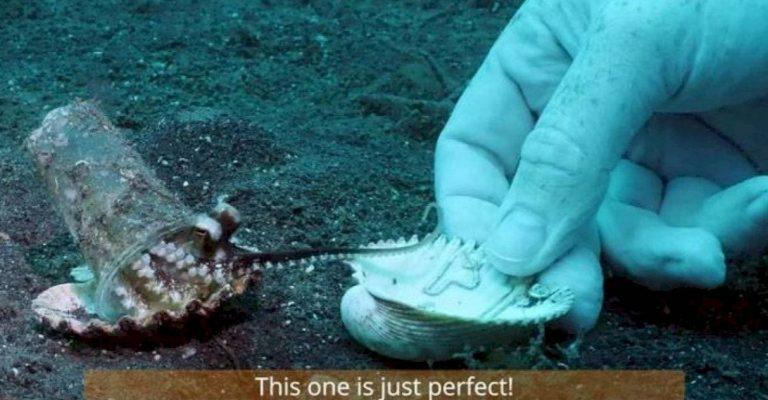 Em vídeo, mergulhador convence bebê polvo a trocar copo plástico por conchinha 1