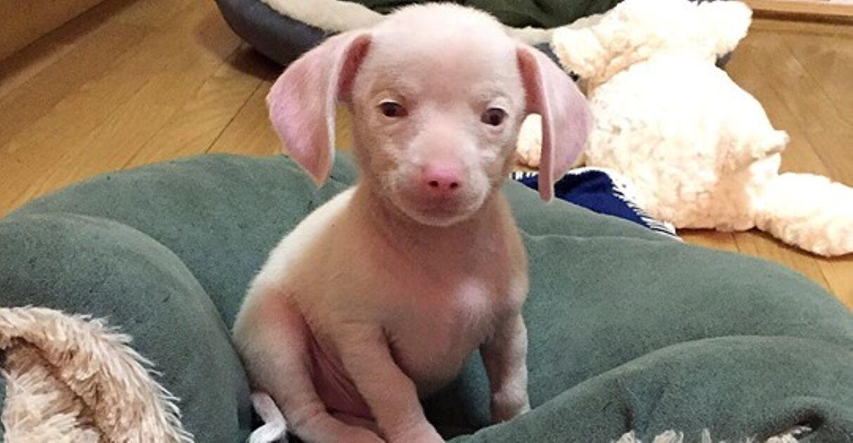 filhote cachorro rosa surdo inspiração crianças