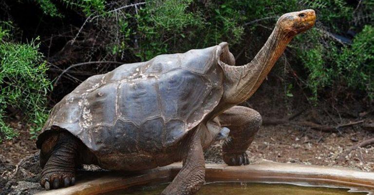 Diego, a tartaruga de 100 anos que teve 800 filhotes e salvou toda a sua espécie da extinção