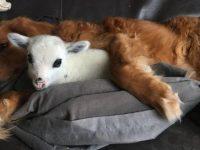 Cachorro faz amizade com bezerro