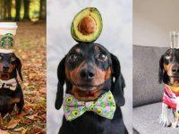 Salsicha equilibrista: cãozinho equilibra objetos na cabeça e conquista a internet; veja fotos 13