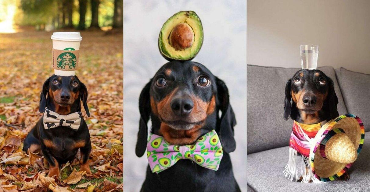 Salsicha equilibrista: cãozinho equilibra objetos na cabeça e conquista a internet; veja fotos 1