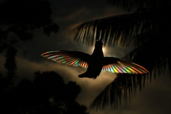 Fotos de artista revelam arco-íris nunca visto em beija-flor-preto 7