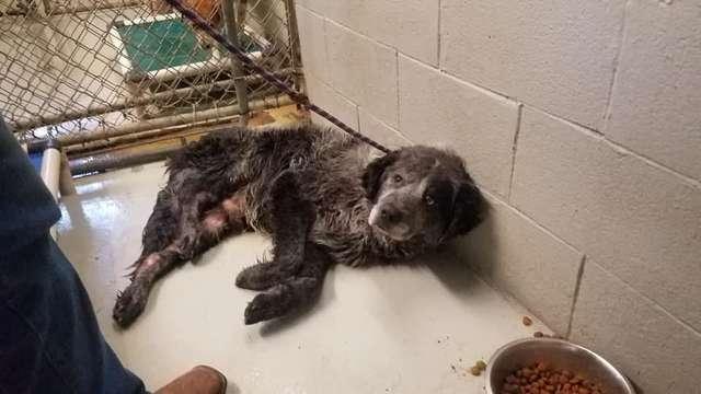 Cãozinho atropelado sorri após ser adotado