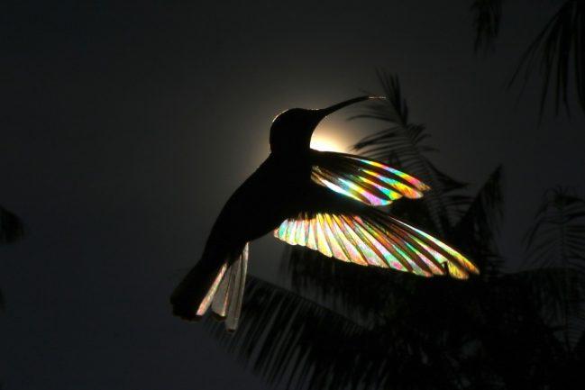 Fotos de artista revelam arco-íris nunca visto em beija-flor-preto 2